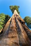 Vue inférieure sur l'arbre énorme de séquoia Photos libres de droits