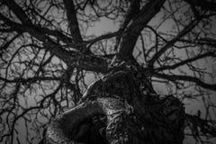 Vue inf?rieure d'arbre sans feuilles Recherche de la vue de l'arbre mort Arbre mort de silhouette sur le fond dramatique fonc? de images libres de droits