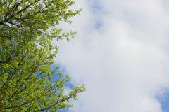 vue inf?rieure des branches d'arbre et du ciel bleu et des cumulus photographie stock libre de droits