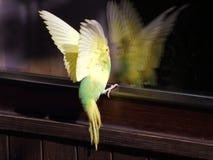 Vue jaune de plan rapproché de perruche d'atterrissage Image libre de droits