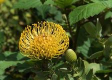 Vue jaune de profil de fleur de protea de pelote à épingles photo stock