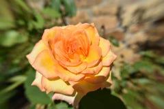 Vue jaune-orange de fleur de Rose d'en haut Image libre de droits
