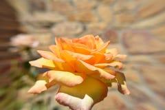 Vue jaune-orange de fleur de Rose de la taille Photo stock