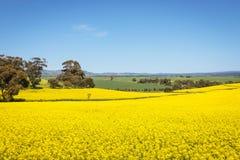 Vue large de gisement de canola en vallée Barossa, Australie du sud photographie stock