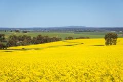 Vue large de gisement de canola en vallée Barossa, Australie du sud photo libre de droits
