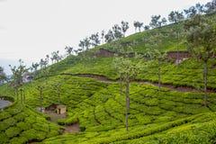 Vue large des plantations vertes d'arbre avec des arbres dans l'intervalle, Ooty, Inde, le 19 août 2016 Image libre de droits