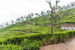 Vue large des plantations vertes d'arbre avec des arbres dans l'intervalle, Ooty, Inde, le 19 août 2016 Images stock