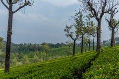 Vue large des plantations vertes d'arbre avec des arbres dans l'intervalle, Ooty, Inde, le 19 août 2016 Photos stock