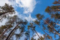 Vue large sur de hauts pins Photo stock