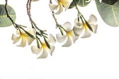 Vue les fleurs de frangipani, l'espace vide et les fleurs tropicales d'isolement de Plumeria avec le fond blanc de coupage de cie Photographie stock libre de droits