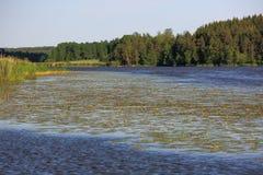 Vue magnifique de paysage naturel un jour d'été Beau lac avec des nénuphars et forêt verte sur le fond Photographie stock
