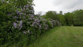 Vue magnifique des buissons lilas pourpres avec les feuilles vertes fraîches Beaux milieux de nature banque de vidéos