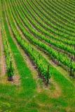 Vue magnifique sur de belles vignes vertes photographie stock