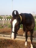 Vue moring de plan rapproché de cheval près de maison de ferme photographie stock
