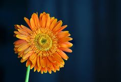 Vue orange de Daisy Flower Gerbera Close Up sur le fond foncé images stock