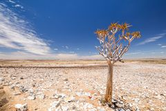 Vue panoramique d'un beau dichotoma d'aloès d'arbre de tremblement en parc naturel de canyon de rivière de poissons en Namibie, A Photographie stock libre de droits