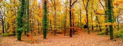Vue panoramique de forêt à feuilles caduques à l'automne d'or en Allemagne, image libre de droits