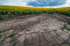 Vue panoramique de gisement de tournesol d'érosion du sol photo stock