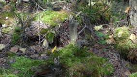 Vue panoramique de plan rapproché de vieux mousse et tronçons dans la forêt banque de vidéos