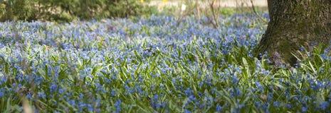Vue panoramique de source, milliers de bluebells photographie stock libre de droits