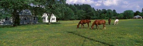 Vue panoramique des chevaux frôlant dans le domaine de printemps, rivage oriental, DM Photos stock