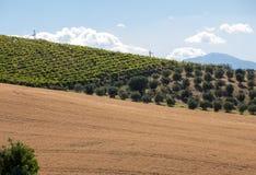 Vue panoramique des oliveraies, des vignobles et des fermes sur Rolling Hills de l'Abruzzo photos libres de droits