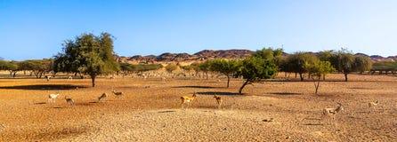 Vue panoramique du parc de safari sur l'île de Sir Bani Jas avec l'antilope de marche photos libres de droits
