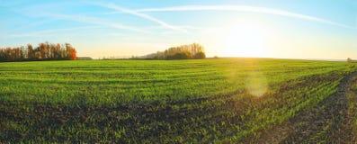 Vue panoramique ensoleillée des rangées des pousses vertes de blé dans le terrain agricole entouré par des arbres photographie stock
