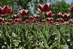 Vue peu commune de tulipes Photographie stock