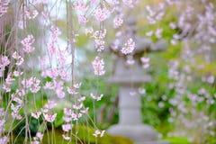 Vue pleurante de jardin de Sakura Photo stock