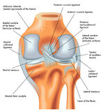 Vue postérieure du genou droit dans l'extension Photographie stock