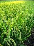 Vue proche d'un gisement de riz Images libres de droits