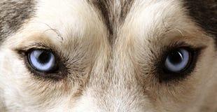 Vue proche des œil bleu d'un chien de traîneau Photos stock