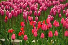 Vue rose de floraison de tulipes de ressort Jardin de floraison de tulipes au printemps Fleurs roses de floraison de tulipe dans  photographie stock libre de droits