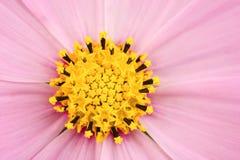 Vue rose de macro de marguerite photographie stock libre de droits