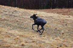 Vue scénique de jeune d'orignaux route de l'Alaska image stock