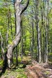 Vue souple de bois de hêtre européen Images stock