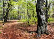 Vue souple de bois de hêtre européen Images libres de droits