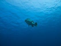 Vue sous-marine de morue géante de pomme de terre, gigaoctet d'AU de récif Photos stock