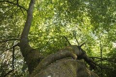 Vue sous un grand arbre Images stock
