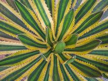 Vue supérieure, agave americana, usine de sentinelle Images libres de droits