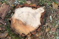 Vue supérieure d'un tronçon d'arbre frais de coupe sur la forêt Photographie stock libre de droits