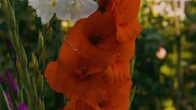 Vue supérieure d'une fleur rouge et blanche magnifique de glaïeul d'isolement sur un fond des feuilles vertes banque de vidéos