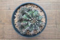 Vue supérieure d'usine de cactus sur le fond en bois Image stock