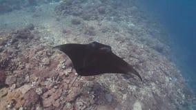 Vue supérieure de bain de raie de manta de récif sur le récif coralien banque de vidéos