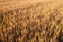 Vue supérieure de champ de blé à la récolte image stock