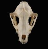 Vue supérieure de crâne de raton laveur d'isolement sur le fond noir Photo stock