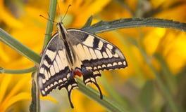 Vue supérieure de vue d'un beau papillon jaune commun de machaon photos stock