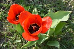 Vue sup?rieure de deux tulipes rouges images stock