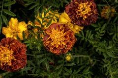 Vue supérieure de fleur jaune de jardin images libres de droits